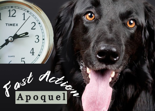 how-fast-does-apoquel-oclacitinib-work-for-dogs
