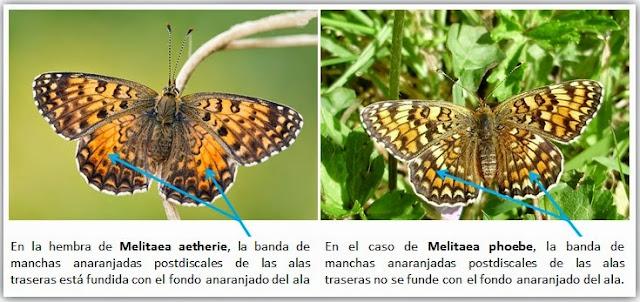 Comparativa Melitaea phoebe y Melitaea aetherie