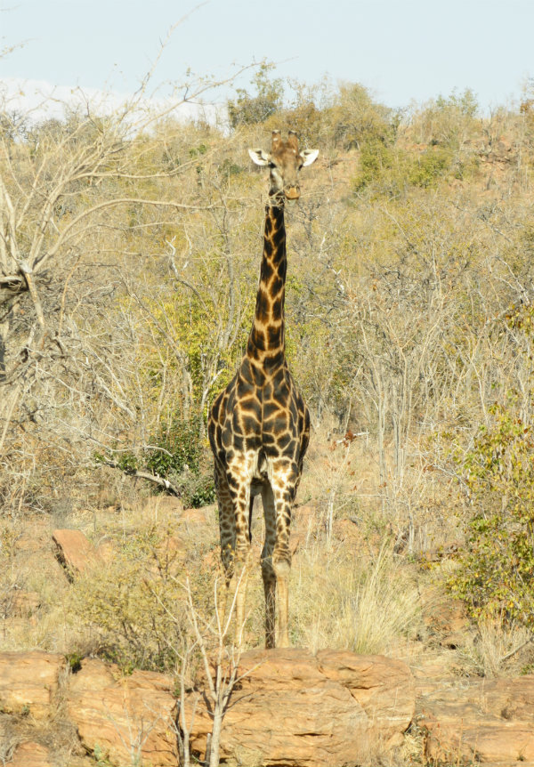 Giraffe, Welgevonden Game Reserve, Limpopo South Africa | Happy in Red