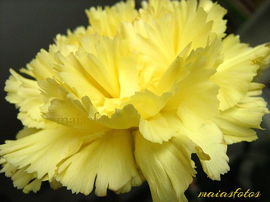 Yellow Carnation-macro