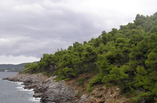 Χαλέπιος πεύκη: ένα από τα εμβληματικά δέντρα της Μεσογείου ξαναβρίσκει τον ρόλο του