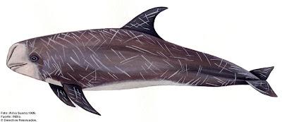 Risso´s Dolphin
