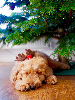 A fluffy brown dog wearing reindeer ears sleeps beneath a Christmas tree