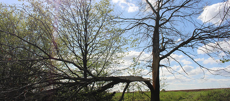 Split tree trunk after severe weather