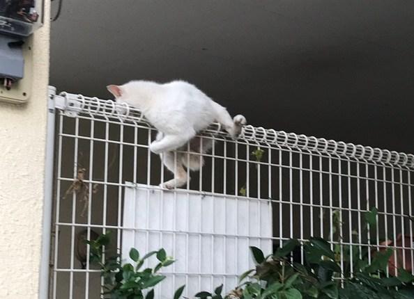 Kucing Ini Memanjat Pagar, Tiba-tiba Ia Tidak Mau Turun Dan Melakukan Ini. Apa Gak Takut?