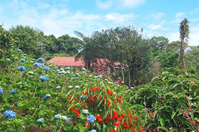 Ajisai, flowers, gardens, Motobu, Okinawa