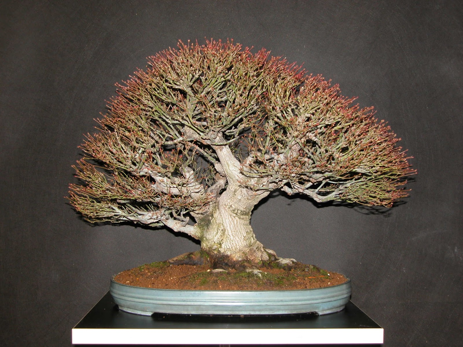 Walter Pall Bonsai Adventures Japanese Maple 10