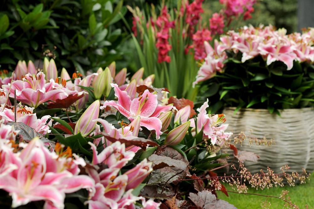 Flores de azucena (Lilium) en el jardín
