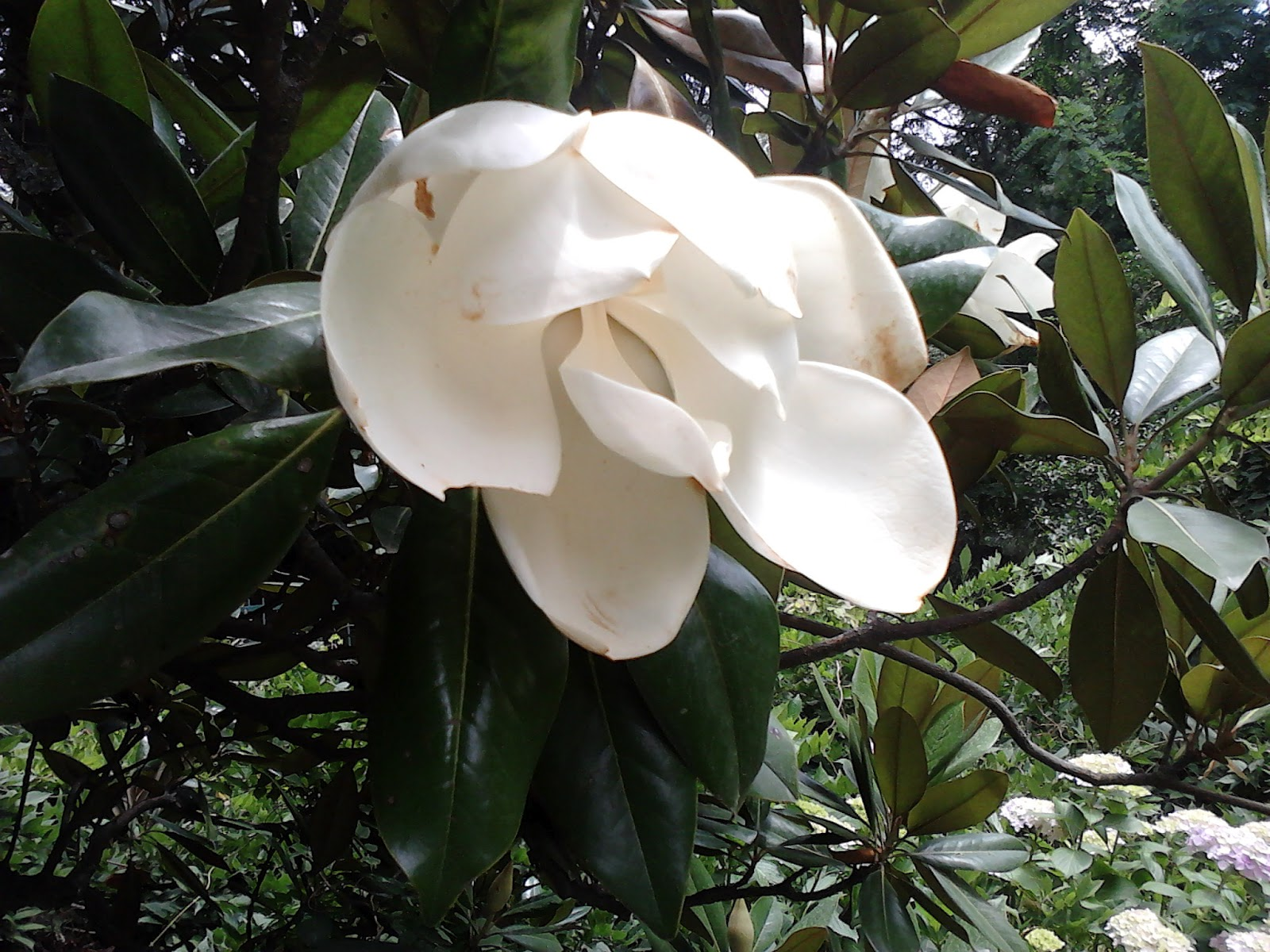 Garden care simplified close up of huge magnolia flowers tree in majestic huge white magnolia flower mightylinksfo