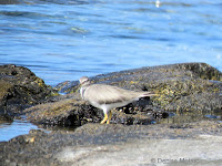 Wandering Tattler – Kaloko Konokohau National Historical Park – Big Island, HI – © Denise Motard