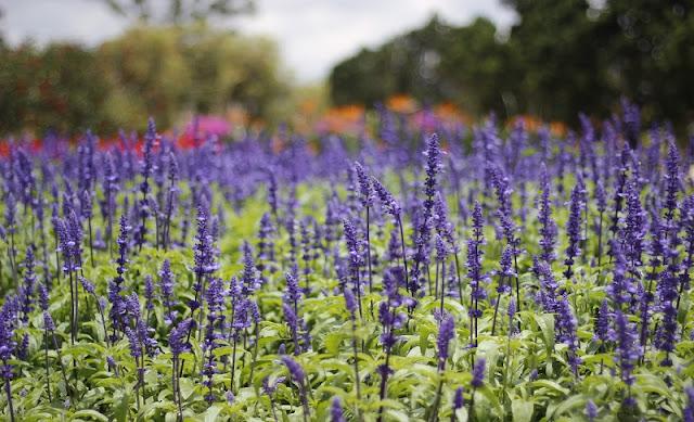 Saigonese create lavender paradise in Da Lat 2