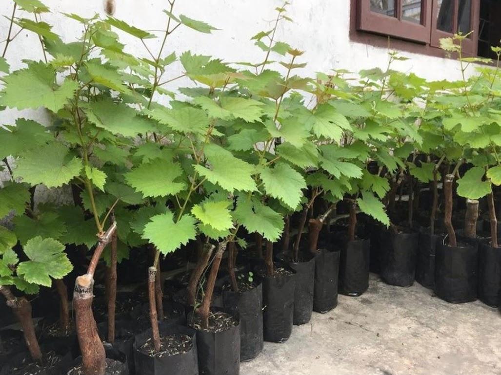 Paket 2 Bibit Anggur Jupiter Import Grafting Payakumbuh