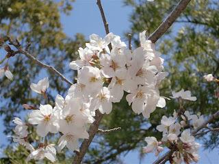静桜(鶴岡八幡宮)