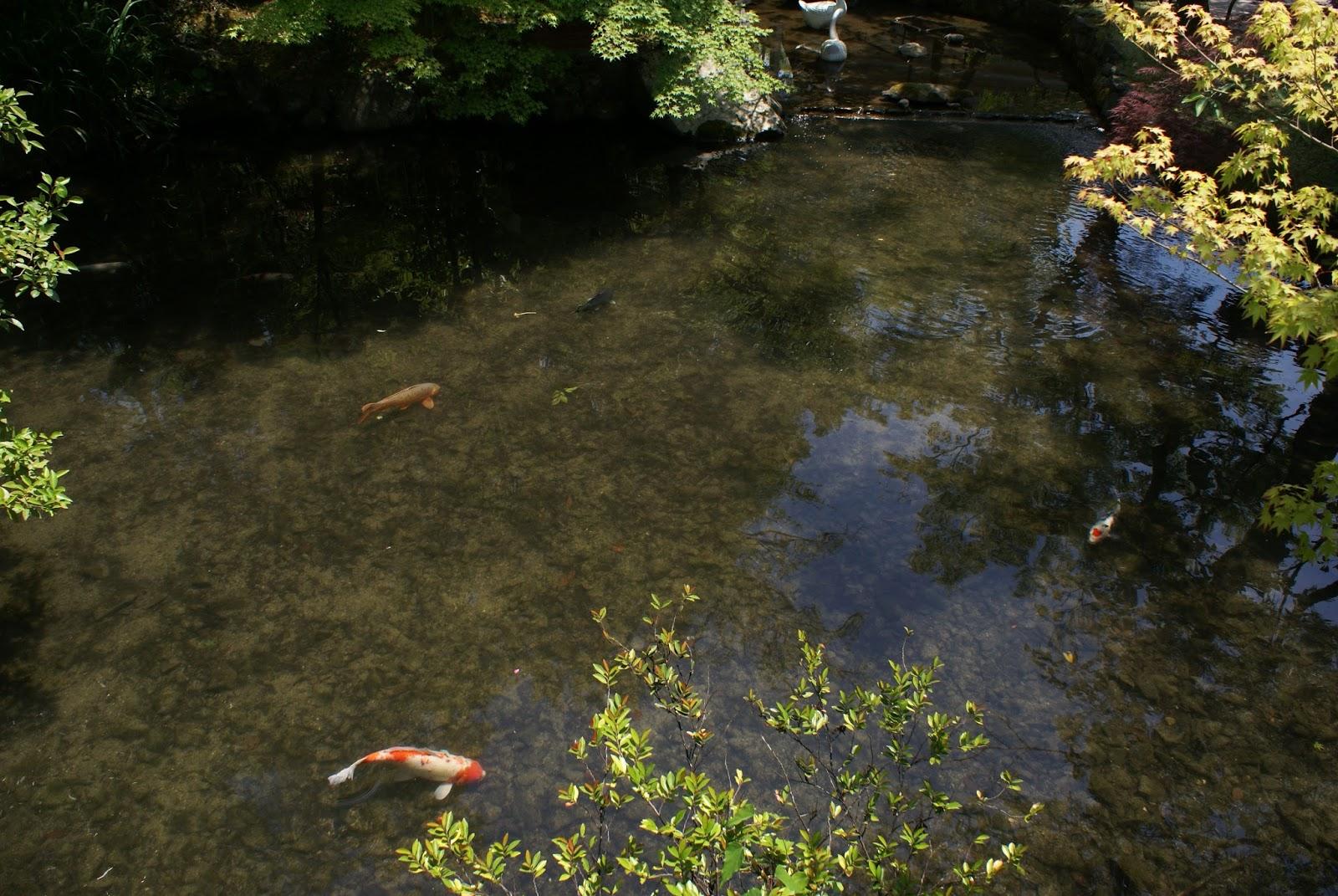 eikan do zenrin-ji koi carp buddhist temple garden kyoto japan