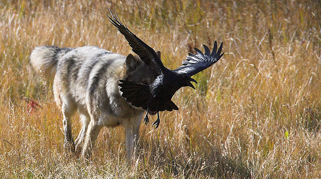wolf and crow relationship help