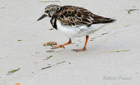 Ruddy Turnstone, breeding plumage – St. George Island State Park, FL – Apr. 2, 2018 – photo by Roberta Palmer