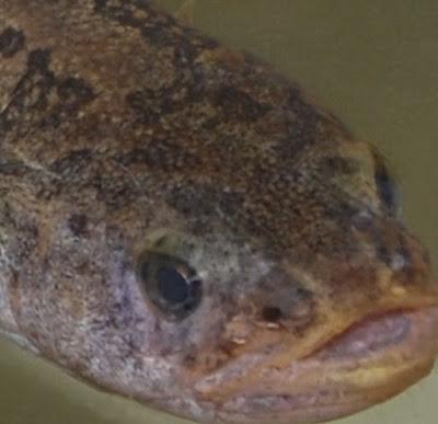 Alaska Blackfish Facts, Adaptations, Diet, Size, Habitat, Lifespan