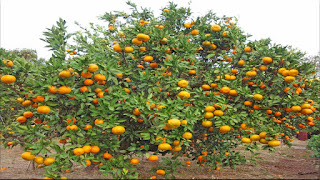 gambar buah jeruk jepara