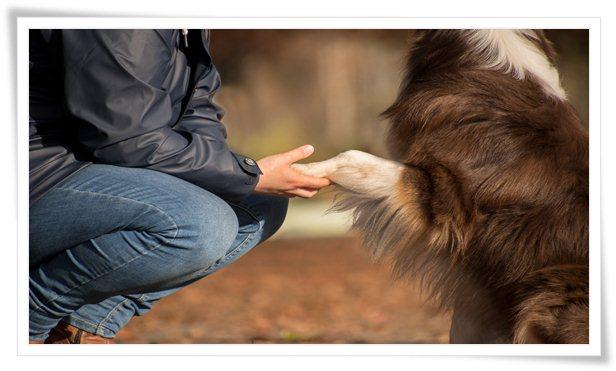 australian shepherd,australian shepherd training,australian shepherd puppies,australian shepherd facts,australian shepherd puppy,australian shepherd potty training,aussie shepherd,austarlian shepherd puppy,aussie shepherd puppy,australian shepherds,dog training,potty training a australian shepherd,aussie shepherd puppies,training,puppy training,potty train a australian shepherd,how to potty train a australian shepherd,australian shepherd dogs 101