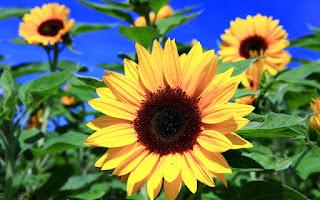 Gambar Bunga Matahari Paling Indah 20005_Sunflower