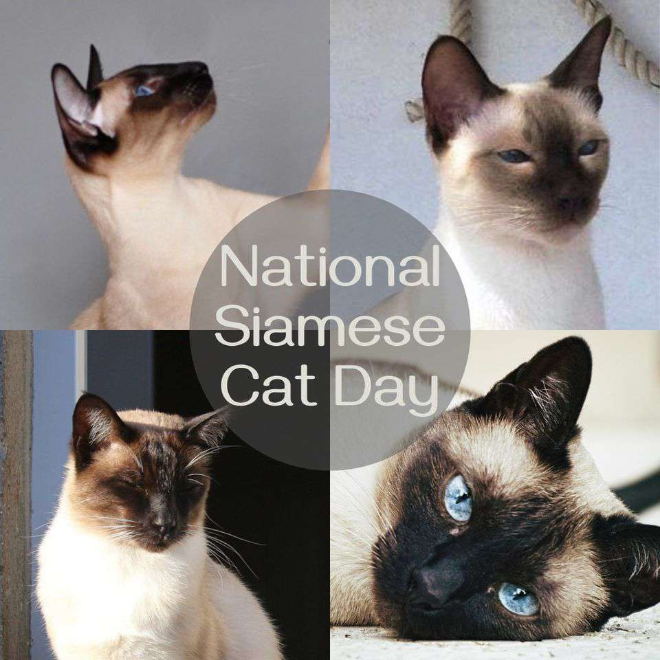 National Siamese Cat Day Wishes for Instagram