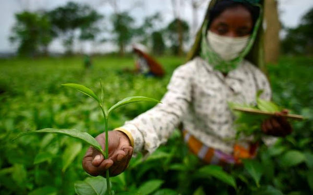 Small tea growers in north Bengal seek land tag