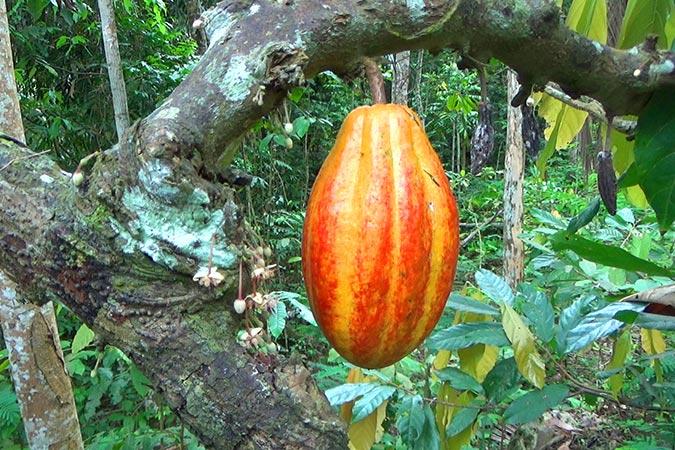 Dlium Cacao tree (Theobroma cacao)