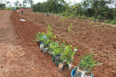 Plantio de arvores em Cascalho Rico