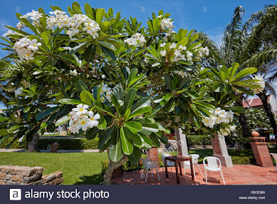 https://www.alamy.it/foto-immagine-il-frangipani-tree-nome-scientifico-plumeria-obtusa-hoi-an-quang-nam-provincia-vietnam-115019313.html?pv=1&stamp=2&imageid=795AB175-2C61-4371-B840-DE92F0D48693&p=15241&n=0&orientation=0&pn=1&searchtype=0&IsFromSearch=1&srch=foo%3dbar%26st%3d0%26pn%3d1%26ps%3d100%26sortby%3d2%26resultview%3dsortbyPopular%26npgs%3d0%26qt%3dfrangipani%2520tree%26qt_raw%3dalbero%2520di%2520frangipane%26lic%3d3%26mr%3d0%26pr%3d0%26ot%3d0%26creative%3d%26ag%3d0%26hc%3d0%26pc%3d%26blackwhite%3d%26cutout%3d%26tbar%3d1%26et%3d0x000000000000000000000%26vp%3d0%26loc%3d0%26imgt%3d0%26dtfr%3d%26dtto%3d%26size%3d0xFF%26archive%3d1%26groupid%3d%26pseudoid%3d%26a%3d%26cdid%3d%26cdsrt%3d%26name%3d%26qn%3d%26apalib%3d%26apalic%3d%26lightbox%3d%26gname%3d%26gtype%3d%26xstx%3d0%26simid%3d%26saveQry%3d%26editorial%3d1%26nu%3d%26t%3d%26edoptin%3d%26customgeoip%3d%26cap%3d1%26cbstore%3d1%26vd%3d0%26lb%3d%26fi%3d2%26edrf%3d%26ispremium%3d1%26flip%3d0%26pl%3d