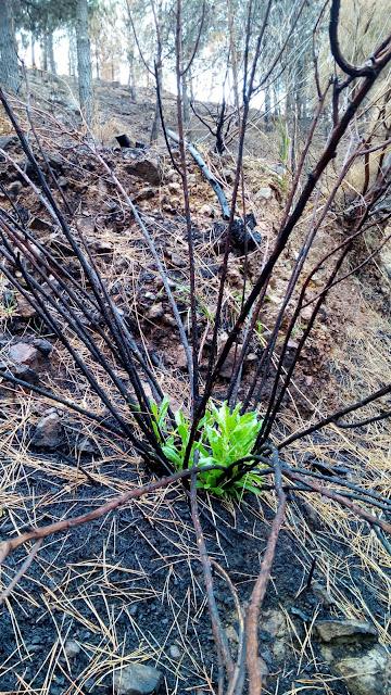 Brotes verdes en zonas del incendio de Gran Canaria / Foto: Cabildo de Gran Canaria