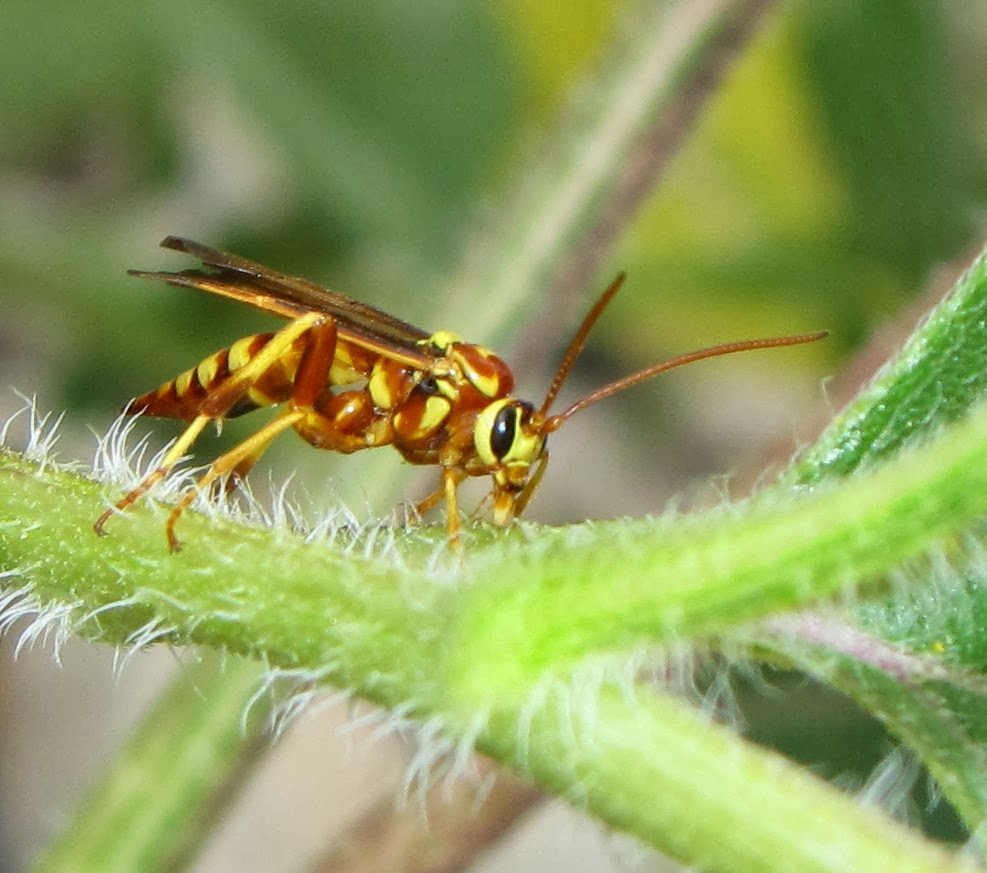 hight resolution of one of the few species i can usually identify in the field is ceratogastra ornata which i still often mistake for a spider wasp anyway