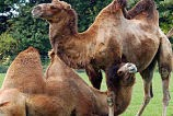 http://mightyeco.blogspot.com/2014/03/bactrian-camels-in-list-of-critically.html