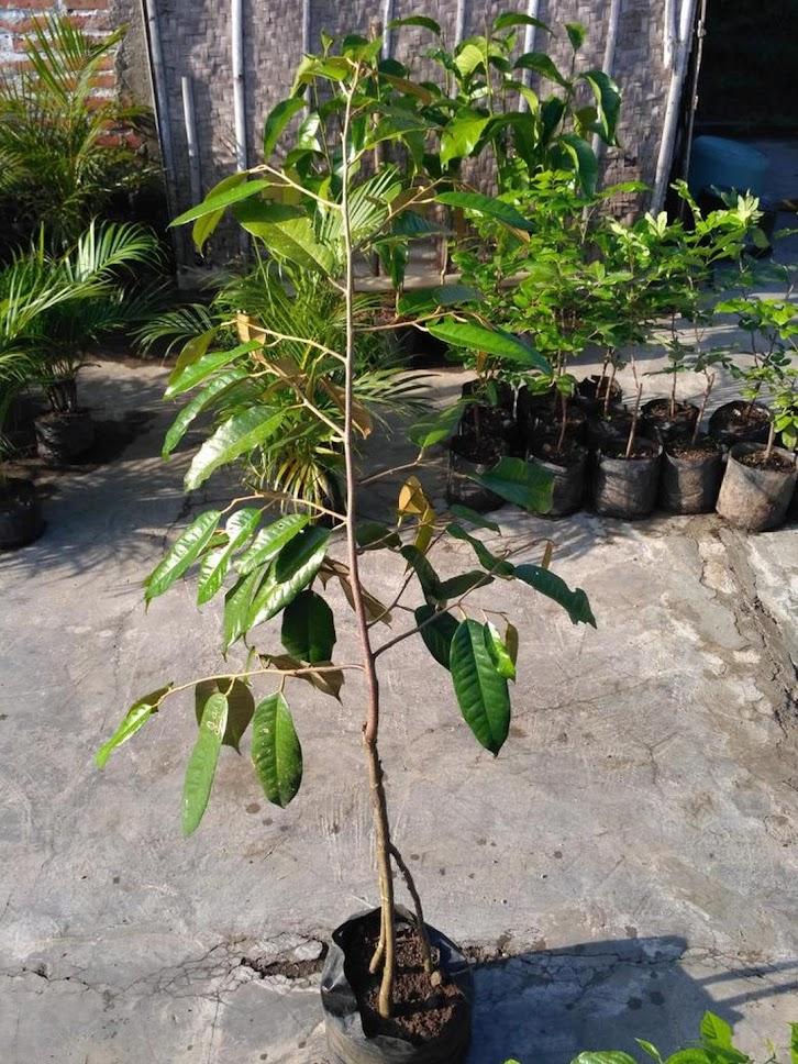 bibit durian musangking kaki 3 1m up Jawa Timur