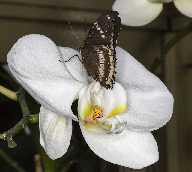 Butterfly, Great Eggfly, Hypolimnas bolina, on orchid flower.    Butterflies in the Glasshouse at RHS Wisley, 26 January 2016