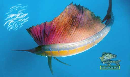 انواع اسماك البحر الاحمر _ سمكة الشراع