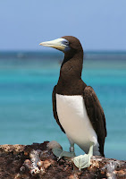 Brown Booby adult, French  Frigate Shoals - Apr. 26, 2010, photo by Duncan Wright
