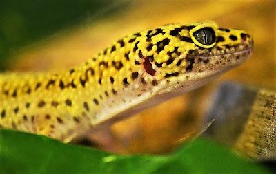 geco leopardo cabeza
