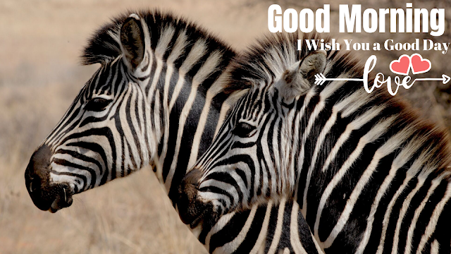 good morning images with nice  zebra