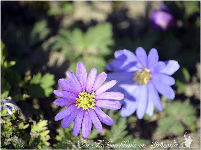 Anemone blanda, Blue Shades, Blaue Frühlings-Anemone