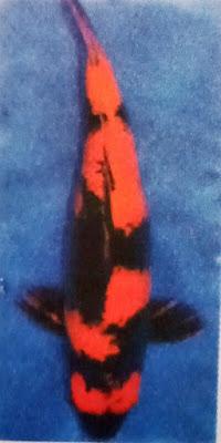 Gambar Ikan Koi Utsuri