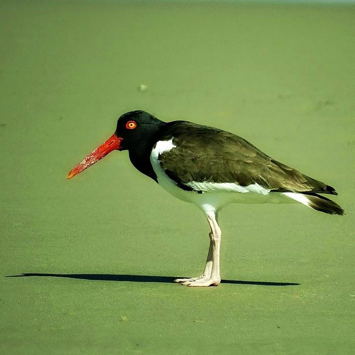 Piru piru: o bico vermelho característico - Parque Nacional da Lagoa do Peixe