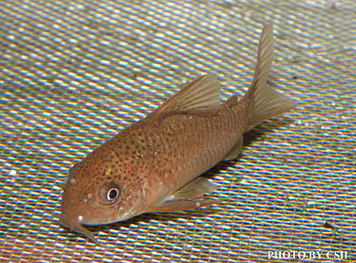 金魚快訊部落格Goldfish message blog: 市售鯰科類鼠魚系列圖鑑(Corydoras fish series illustrations)