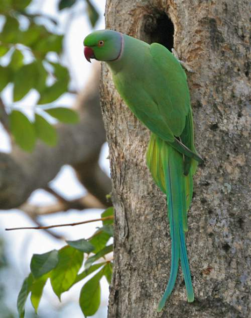 Indian birds - Rose-ringed parakeet - Psittacula krameri