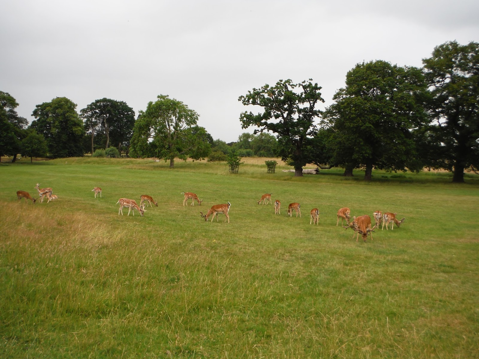 a pack of deer in the grounds of Charlecote Park
