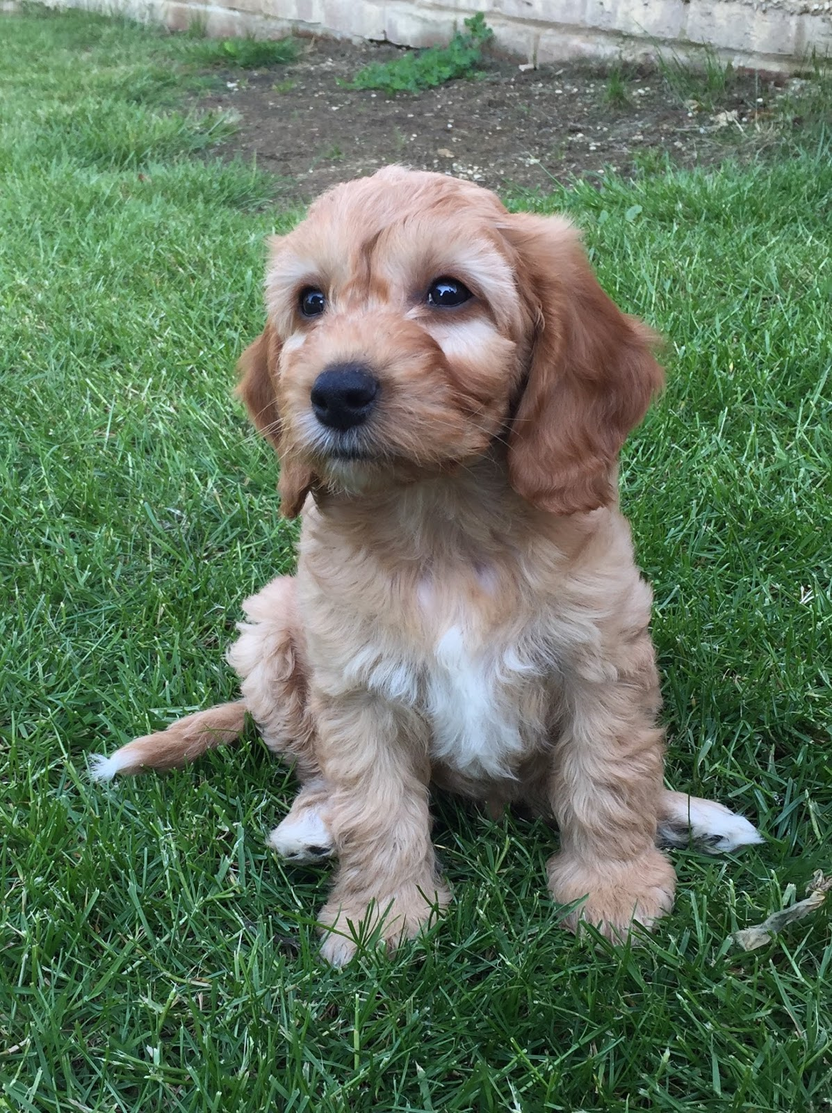 What Does A Cockapoo Look Like