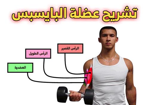 تشريح عضلة البايسبس
