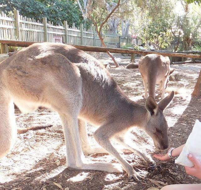 Kangaroos at Dream World