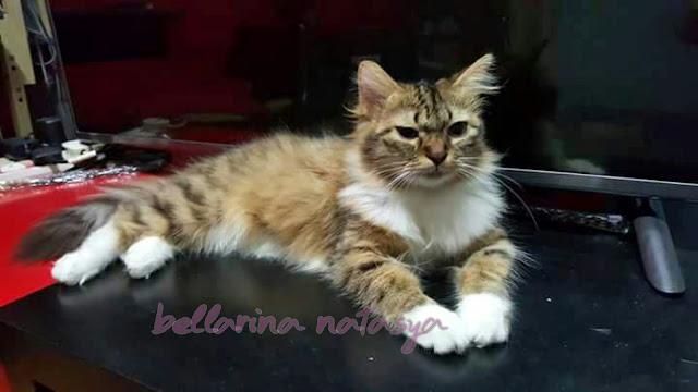 Kucing Sihat Bulu Bersinar
