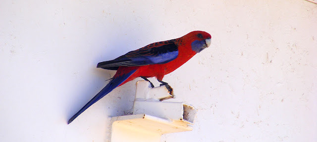 Crimson Rosella Platycercus elegans, Mount Stromlo Observatory, Australian Capital Territory. Photographed by Susan Walter. Tour the Loire Valley with a classic car and a private guide.
