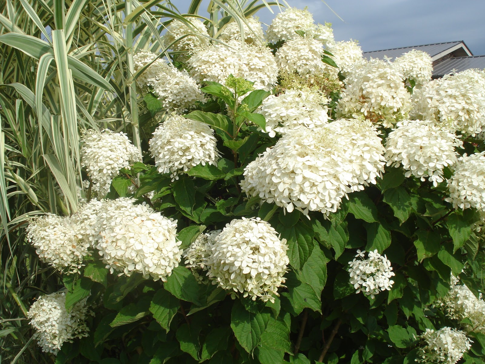 thoughts of a plant nerd 39 phantom 39 hydrangea paniculata. Black Bedroom Furniture Sets. Home Design Ideas